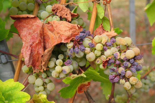grape 3666727 1920